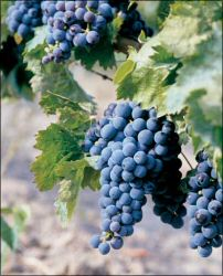 Carignan is a grape that's used in a higher proprotion in wines from the Languedoc than from the Rhône valley.  Its intensity can pose interesting technical issues for winemakers.