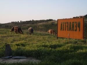 Cows grazing right outside the tasting room at Perafita Winery in Cadaques.