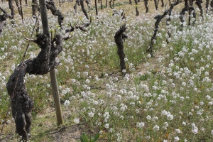 Eighty-year-old Grenache Gris vines at Domaine de Mairan in the Languedoc.