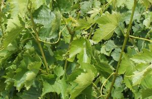 The leaves and flowers of the Arbanne vine, at Champagne Bernard Mante.