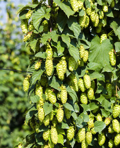 While hops can grow nearly anywhere, they have to be dried right after harvesting.  Most local brewers and farms don't have their own processing facilities, so the vast majority of hops in the U.S. come from the Pacific Northwest.