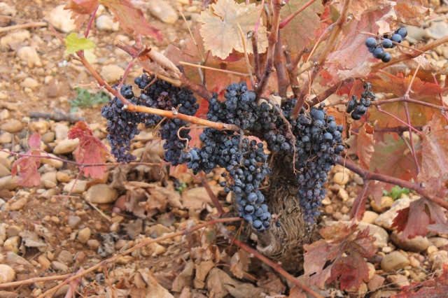 A preview of a forthcoming post on Bodega Hiriart, the maker of this post's featured wine. Non-trellised vines, and lots of clusters left after harvest for quality control. You can tell these grapes are Tempranillo rather than Grenache because the clusters are shaped like South America.